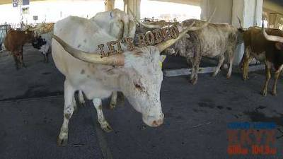 Rodeo Cattle Drive 2016